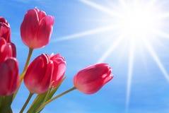 Fermez-vous du ciel bleu de Tulip Flower Meadow With Sunny Images stock