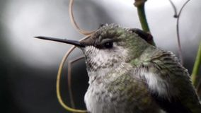 Fermez-vous du colibri se reposant sur le buisson en détail banque de vidéos