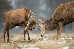 Fermez-vous du combat de cerfs communs rouges photographie stock libre de droits