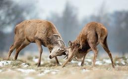 Fermez-vous du combat de cerfs communs rouges image libre de droits