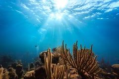 Fermez-vous du corail et de l'espèce marine de embranchement sur le récif dans les Caraïbe Photos stock