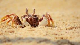 Fermez-vous du crabe sur le sable de plage banque de vidéos