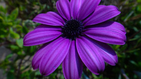 Fermez-vous du Dimorphotheca pourpre de fleur (le souci) Photos stock