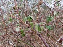 Fermez-vous du froid épineux d'hiver de feuillage de branches photographie stock libre de droits