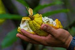 Fermez-vous du fruit frais de cacao dans des mains d'agriculteurs Fruit organique de cacao - nourriture saine Coupe de cacao cru  Photographie stock libre de droits