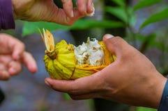 Fermez-vous du fruit frais de cacao dans des mains d'agriculteurs Fruit organique de cacao - nourriture saine Coupe de cacao cru  Photo stock