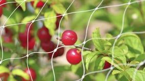 Fermez-vous du fruit japonais de cerise de buisson derrière le filet d'oiseau, beau balancement rouge de fruit en vent, 4k la lon banque de vidéos