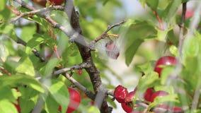 Fermez-vous du fruit japonais de cerise de buisson derrière le filet d'oiseau, plume sur le fruit signifie qu'un oiseau a été emp clips vidéos