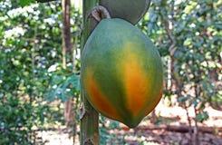 Fermez-vous du fruit mûr de papaye dans l'arbre Photos libres de droits