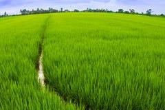 Fermez-vous du gisement de riz Image libre de droits