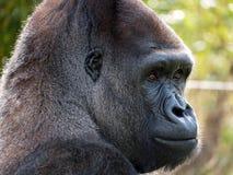 Fermez-vous du gorille masculin adulte de silverback de plaine occidentale Photographié au port Lympne Safari Park près d'Ashford images stock