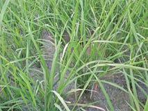 Fermez-vous du grain de céréale de riz Photo stock