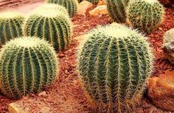 Fermez-vous du grand cactus rond dans le jardin photo libre de droits