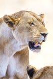 Fermez-vous du grand lion sauvage en Afrique Image libre de droits