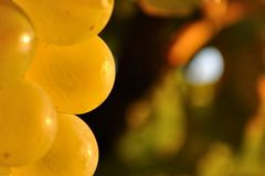 Fermez-vous du groupe de raisins dans le vignoble prêt pour la récolte Image libre de droits