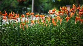 Fermez-vous du jardin de Tiger Lily images stock
