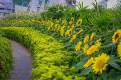 Fermez-vous du jardin de tournesol à l'intérieur de l'aéroport de Singapour Changi Image stock