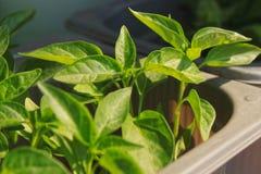 Fermez-vous du jeune arbre de poivre de piment rouge avec les feuilles vertes fra?ches, en s'?levant au rebord de fen?tre photographie stock libre de droits