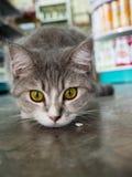 Fermez-vous du jeune chat domestique Photo libre de droits