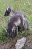 Fermez-vous du jeune petit animal espiègle du renard deux arctique devant leur l photographie stock libre de droits