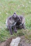 Fermez-vous du jeune petit animal espiègle du renard deux arctique devant leur l image stock