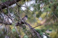 Fermez-vous du junco observé par obscurité dans le pin Photo stock