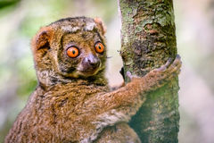 Fermez-vous du lémur laineux s'accrochant à l'arbre Image stock