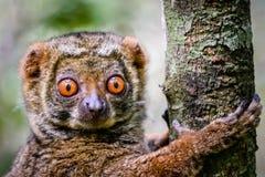 Fermez-vous du lémur laineux s'accrochant à l'arbre Images libres de droits