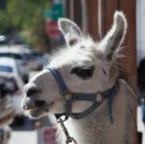 Fermez-vous du lama Photographie stock
