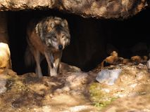 Fermez-vous du Mexicain Grey Wolf en caverne images libres de droits
