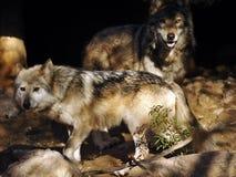 Fermez-vous du Mexicain Grey Wolf Pair à la caverne image stock