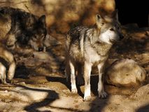 Fermez-vous du Mexicain Grey Wolf Pair avec le fond monochromatique images libres de droits