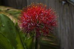 Fermez-vous du multiflorus vibrant de Lily Blood Lily Scadoxus d'aérolithe photographie stock libre de droits
