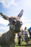 Fermez-vous du museau d'un âne, dehors Photos libres de droits
