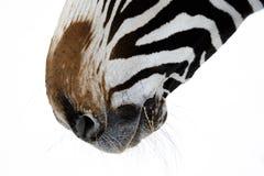 Fermez-vous du nez de zèbre (soufflure et narines) Photographie stock