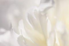 Fermez-vous du pétale de fleur blanche, sarcelle d'hiver, image rêveuse douce image libre de droits