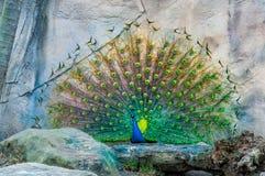 Fermez-vous du paon montrant ses belles plumes Paon masculin montrant ses plumes de queue Écartez les queue-plumes du paon sont Images libres de droits