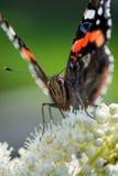 Fermez-vous du papillon d'atalanta Photos stock