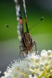 Fermez-vous du papillon d'atalanta Photographie stock libre de droits