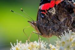 Fermez-vous du papillon d'atalanta Photo libre de droits