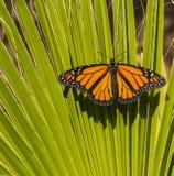 Fermez-vous du papillon de monarque Image stock