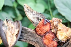 Fermez-vous du papillon mangeant du fruit Photographie stock libre de droits