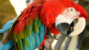 Fermez-vous du perroquet d'ara d'écarlate d'Amazone ou des arums rouges Macao, en portrait coloré de jungle de faune tropicale de banque de vidéos