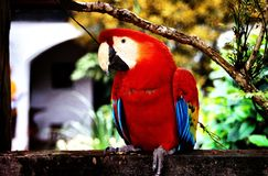 Fermez-vous du perroquet, Guatemala photos stock