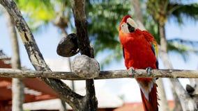 Fermez-vous du perroquet rouge se reposant sur la perche Image stock