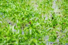 Fermez-vous du petit élevage vert de bourgeons et de graines Images stock