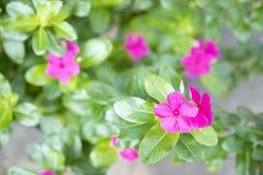 Fermez-vous du petit géranium rose photo stock