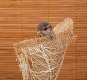 Fermez-vous du petit moineau gentil dans un nid de jute Image libre de droits
