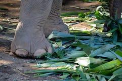 Fermez-vous du pied d'éléphants dans le zoo Images stock