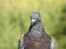 Fermez-vous du pigeon images stock
